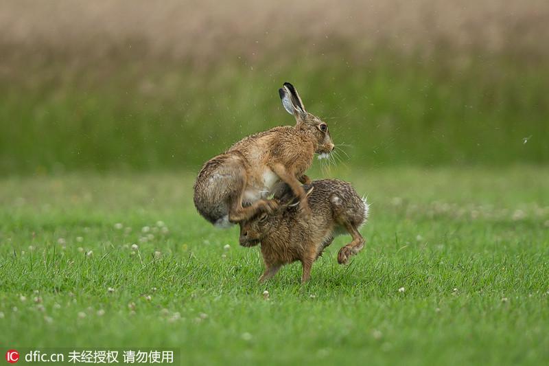 野兔打斗激烈似拳击:奇怪的求偶仪式