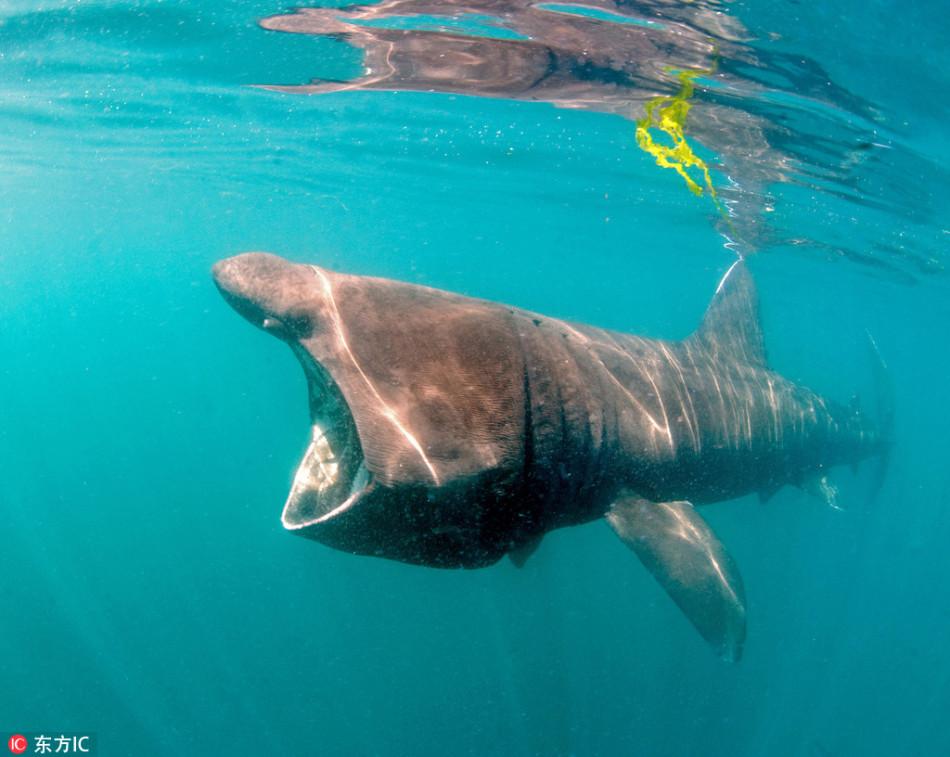 英摄影师拍姥鲨捕食瞬间 大口獠牙让人不寒而栗