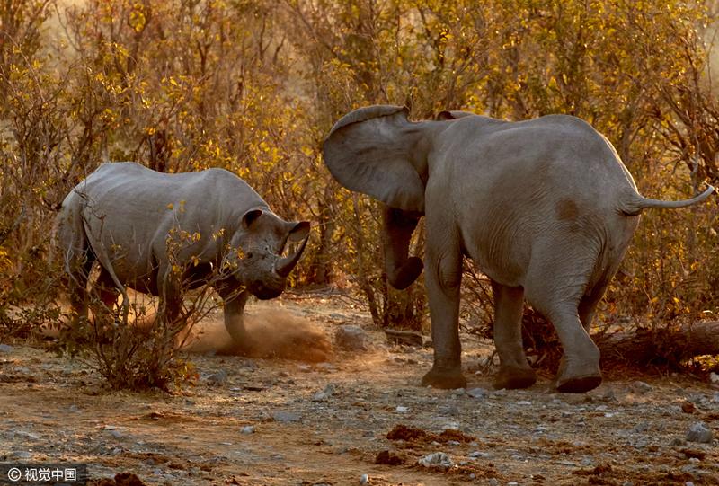 震撼!纳米比亚黑犀牛只身挑战两头大象