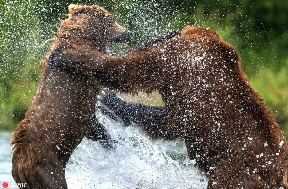 一言不合就开撕!俄罗斯两头熊上演精彩拳击赛