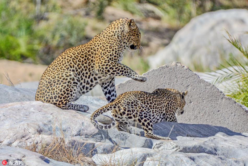 画面太污!南非两只豹子当众啪啪大战3回合
