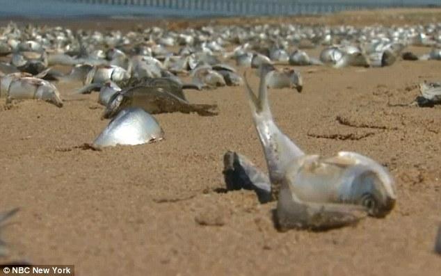尸横遍野!美东北部高温缺氧致大批鱼类死亡