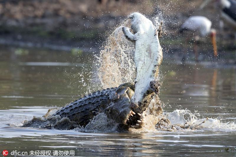 动物互相残杀尽显自然冷酷法则:适者生存