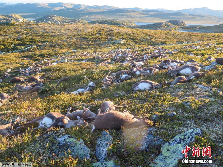挪威高原现300多只死亡野生驯鹿 疑遭雷击