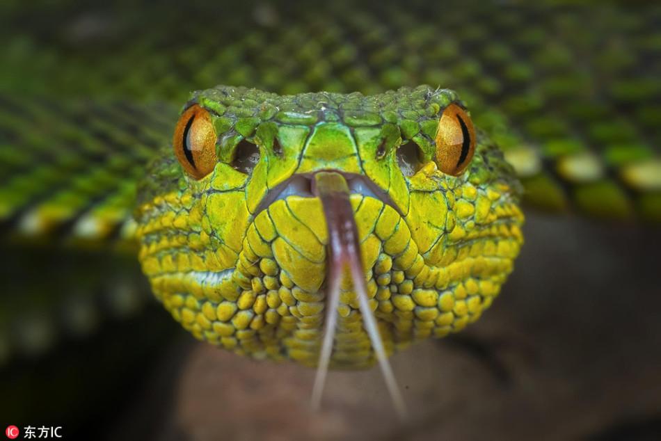 冷血动物的妖艳魅惑!印尼摄影师微距拍彩色毒蛇