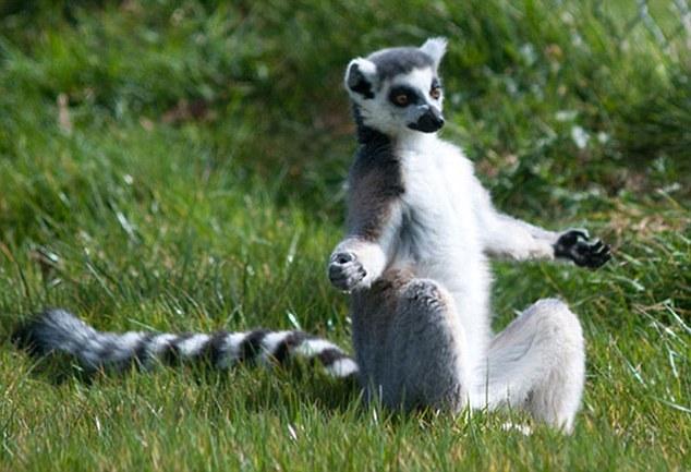 动物界中的瑜伽高手:狐猴半莲花式姿势冥想