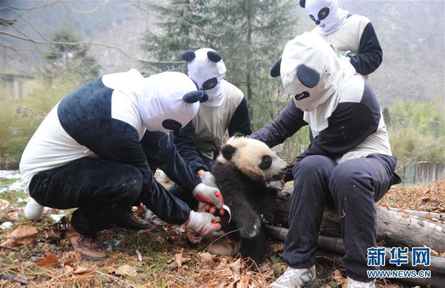 """""""探秘""""大熊猫野化训练:工作人员穿熊猫装"""