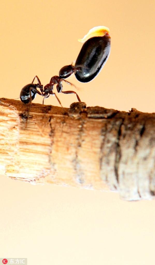 """自然界""""大力士""""蚂蚁搬食物:越卑微越坚强"""