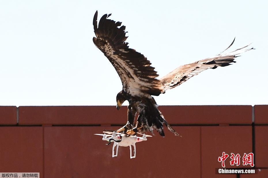 防空新招!荷兰警方训练老鹰抓无人机