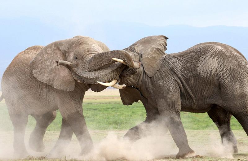 """肯尼亚大象为争权大打出手 上演""""夺位""""大战"""