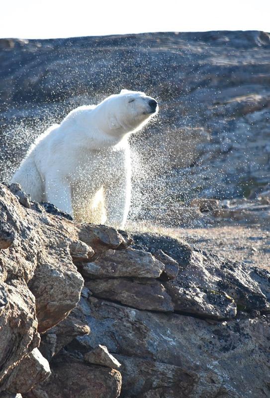 北极熊孤坐无雪岩石 生存环境堪忧