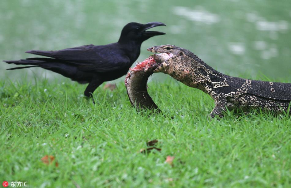 泰国水巨蜥进食:狼吞虎咽享受鱼儿大餐