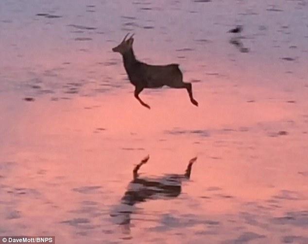英国海边梅花鹿欢快跳跃:场景罕见温暖人心