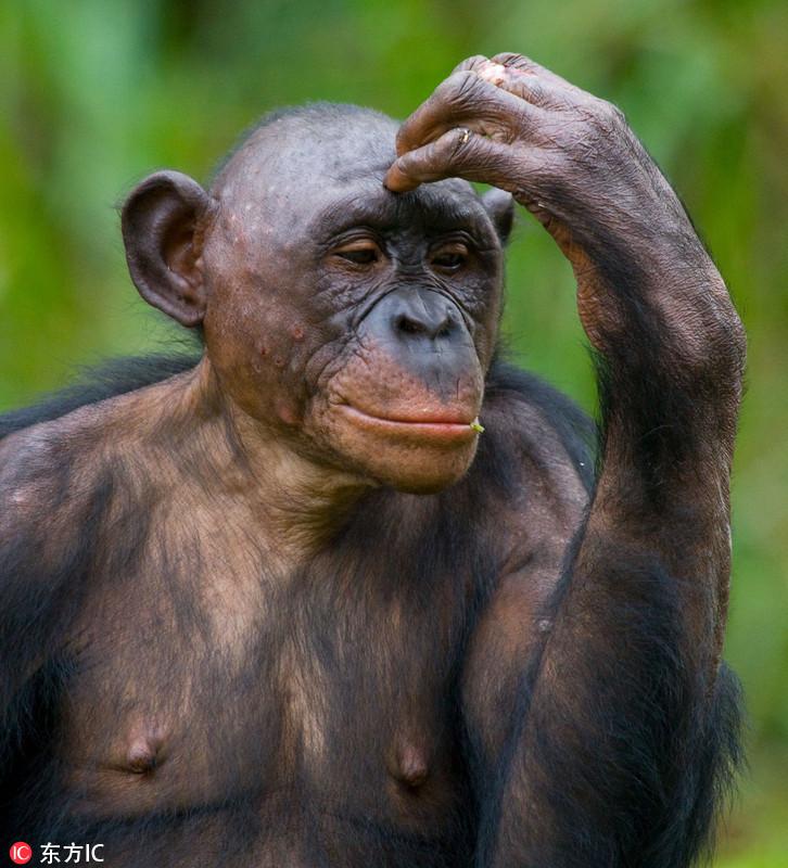 摄影师拍黑猩猩有趣生活照 扮沉思者令人捧腹