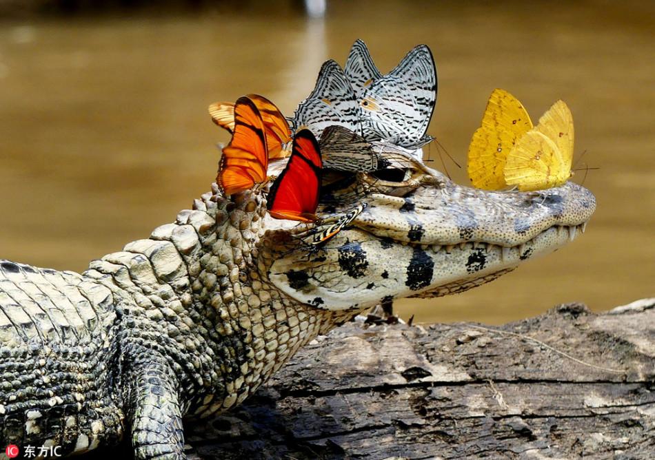 鳄鱼脑袋招蜂引蝶 张嘴微笑心情愉悦