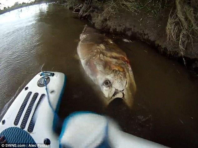 巨型金枪鱼追三文鱼误入河中死亡