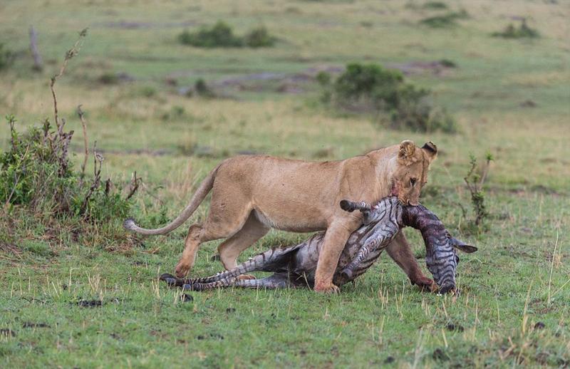 饥饿非洲狮拖咬战利品斑马艰难前行