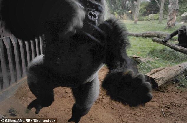 据报道,当时正值动物园开放时间,一只大猩猩在游客面前忽然发怒,疯狂