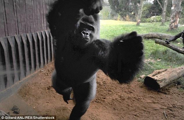 """伦敦动物园大猩猩""""越狱""""  惊动武警追捕"""