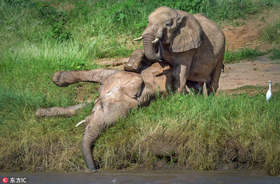 憨厚的大象原来都是逗比货:坐蚁丘上蹭屁股