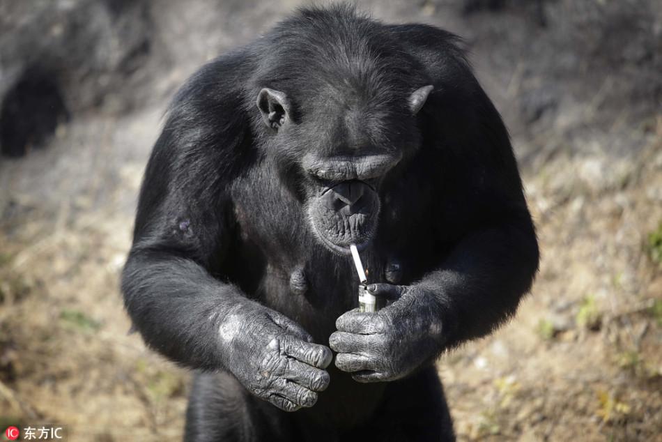 动物园内大猩猩每天一包烟 自点自抽人模人样