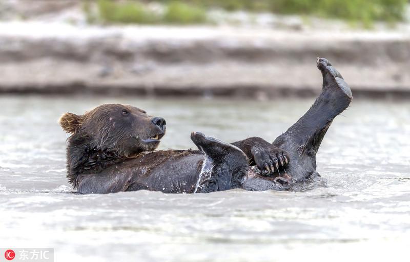 """俄罗斯调皮懒熊让""""老婆""""捕鱼自己在湖中泡澡"""
