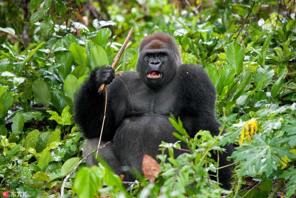 乌干达猩猩不满被拍照 挥棍恐吓摄影师