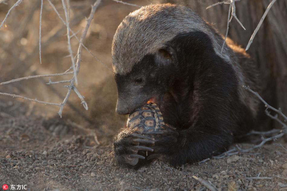 壳硬也没用:南非乌龟遭蜜獾捕食瞬间被咬碎