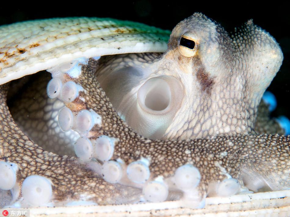 章鱼藏身贝壳后还要合上壳 害羞模样惹人爱(组图)