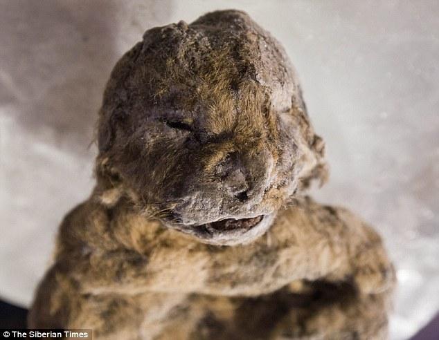 冰雪中保存超3万年的洞狮:身体部位保持完整