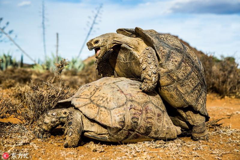 豹纹陆龟光天化日公然交配 表情十分销魂