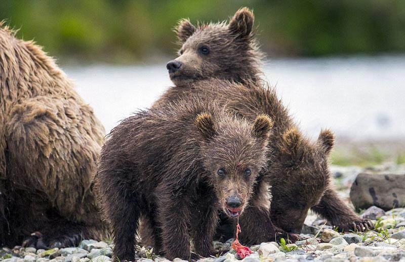 母熊捕鱼喂食幼崽 展现浓浓骨肉亲情