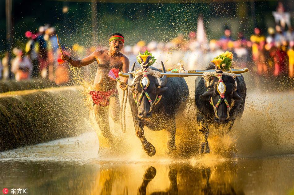 印度稻田里举办水牛赛跑:泥花四溅 惊险刺激