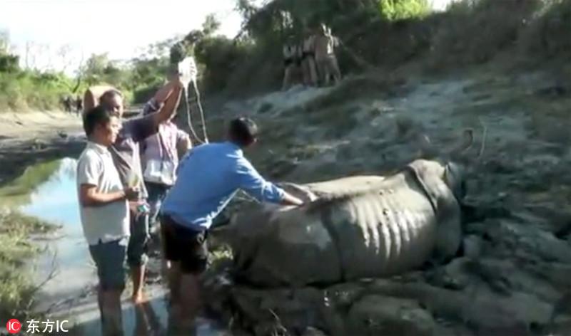 印犀牛深陷淤泥 挣扎24小时后放弃求生