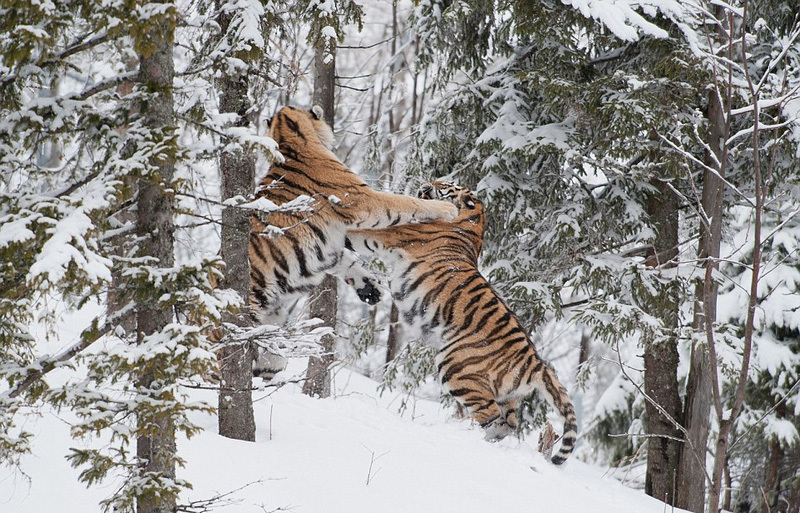 两雄性老虎为争伴侣雪地激烈争斗 互相撕扯