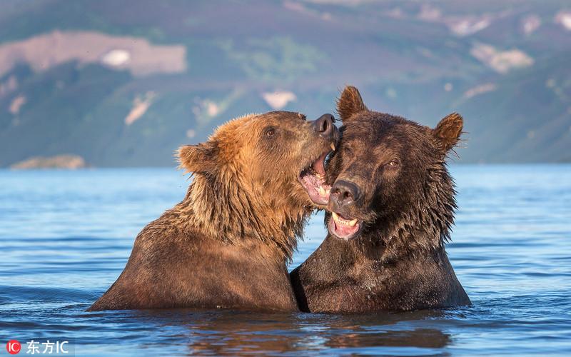 吃狗粮!俄棕熊水中亲吻搂抱大秀恩爱