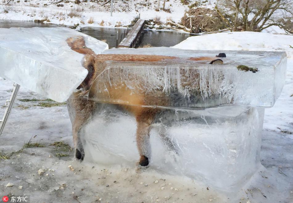 """德国倒霉狐狸掉进河里冻成""""冰雕"""""""