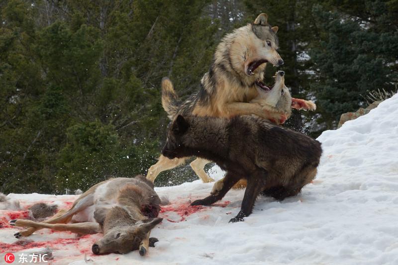美国大灰熊单挑狼群 上演精彩夺食大战