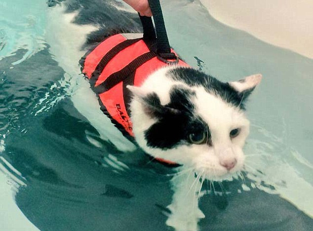 英国一肥猫通过游泳减肥萌翻网友