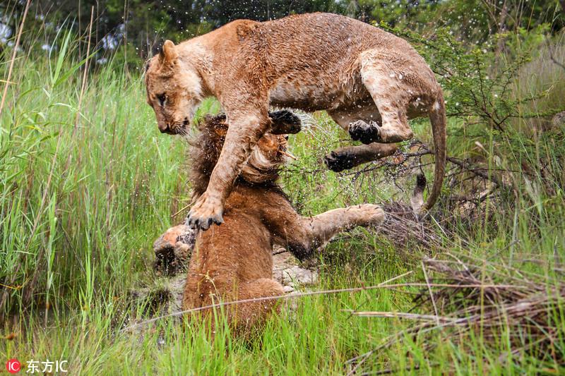 这两头活力满满的狮子一雄一雌在草丛间的水坑里相互打闹.东方ic
