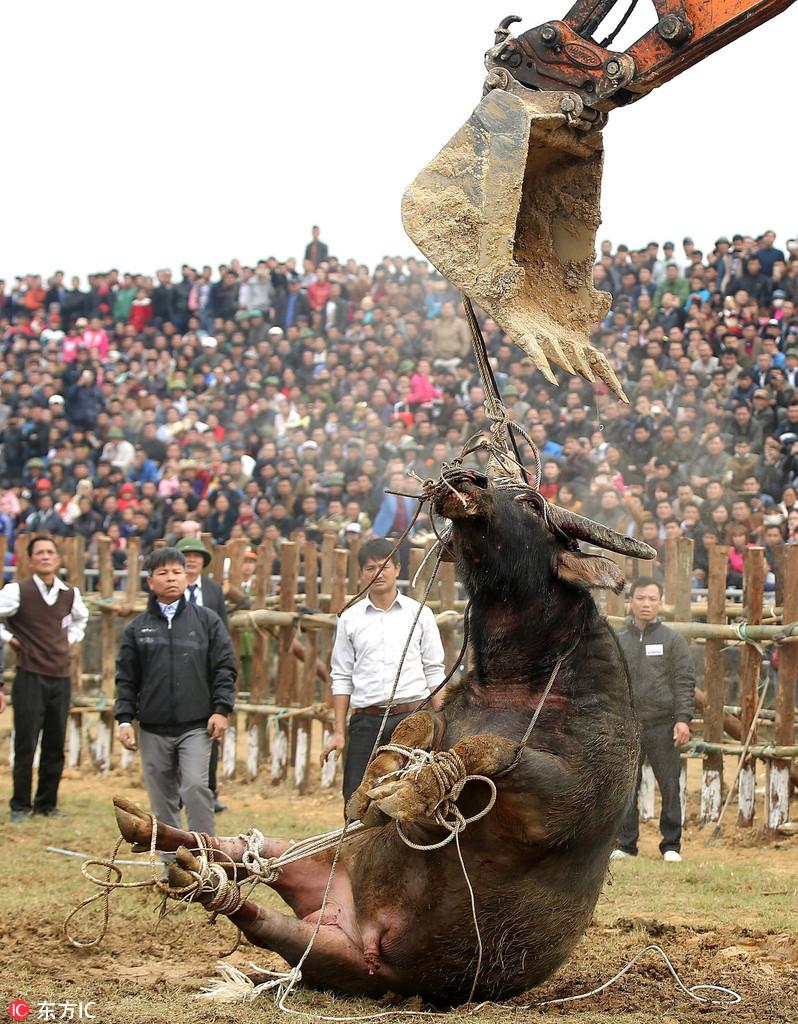 越南斗水牛节上演血腥大战
