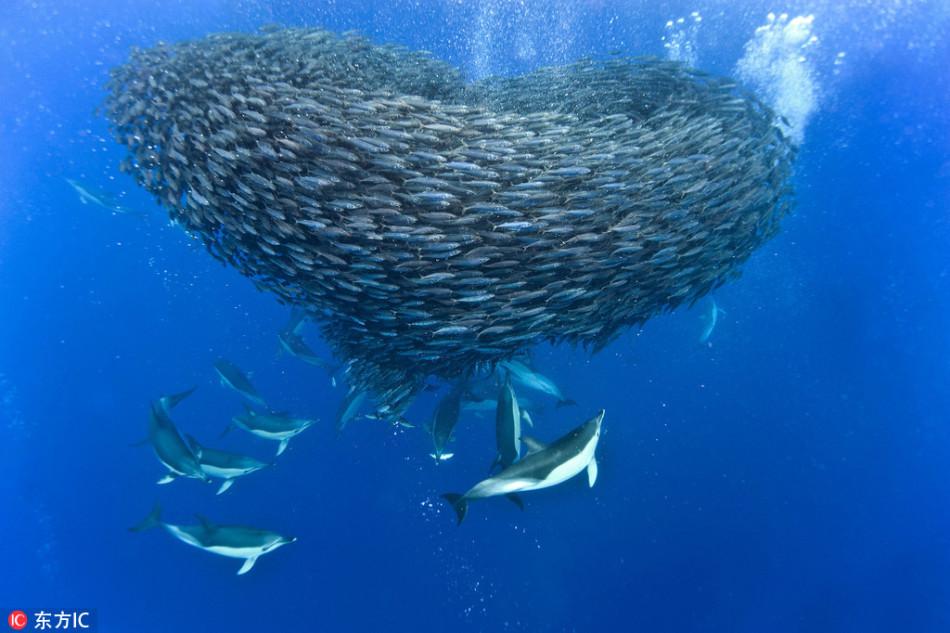蔚蓝海底鱼群组成浪漫爱心形