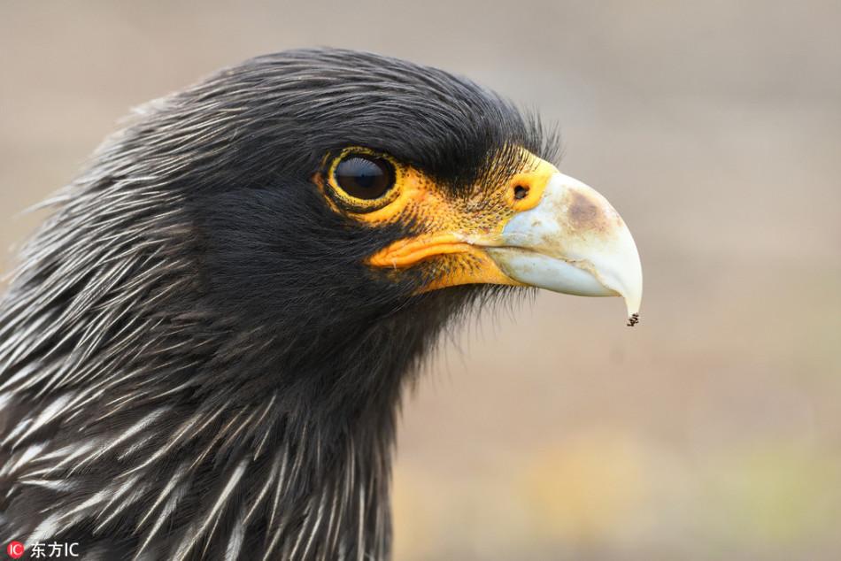 凶猛老鹰欲偷相机:歪头探望秒变好奇宝宝