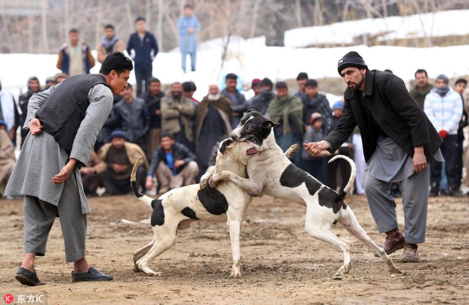 阿富汗举行每周斗狗比赛 场面残暴血腥