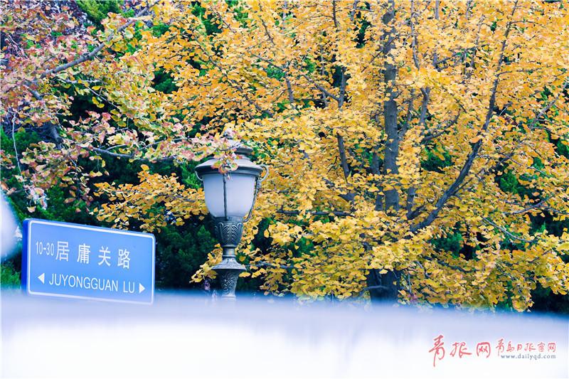 青岛八大关银杏进入观赏季 金色遍布景如画