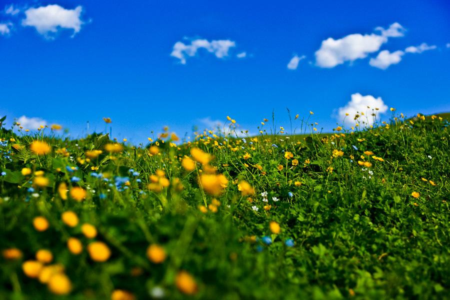 一片坡地草场,草木茂盛,繁花似锦,牛羊成群,远处的毡房似点点