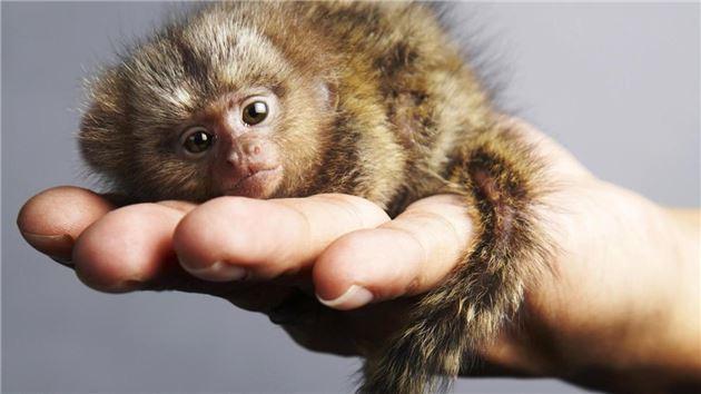 香港展出世界最小猴子:比手掌还小