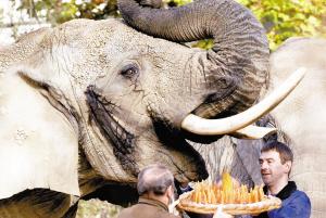 世界年龄最大非洲象迎来55岁生日