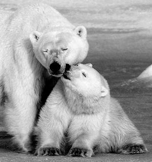 看看北极熊一家的幸福生活吧