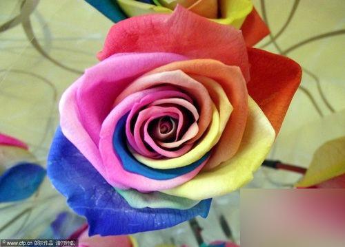七色玫瑰电脑壁纸